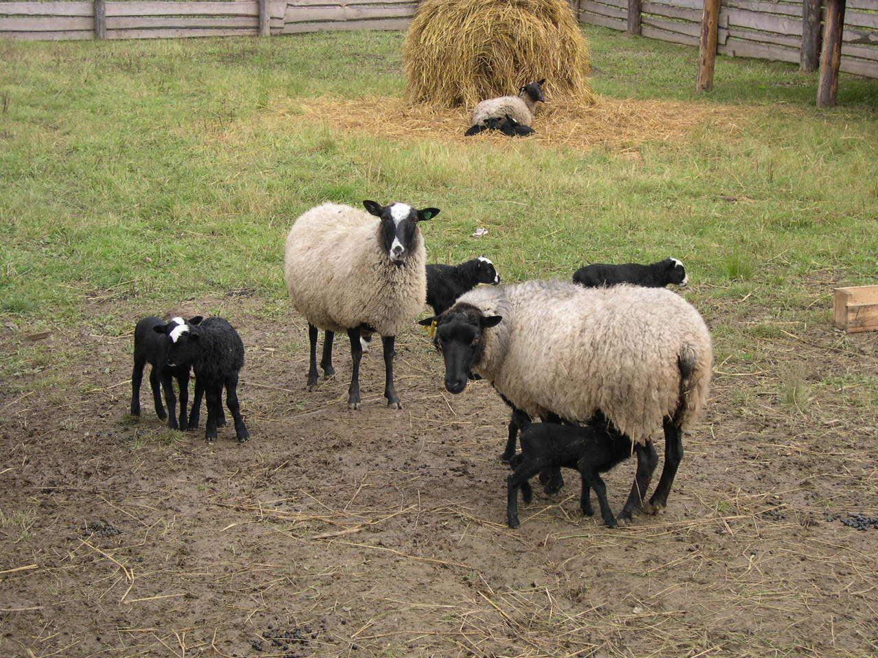 Сношение с овцой 14 фотография